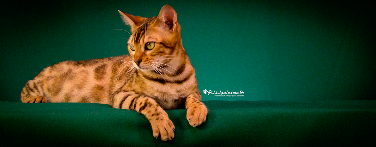 Play Bengal Cats